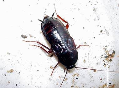 oriental cockroach on dirty plate