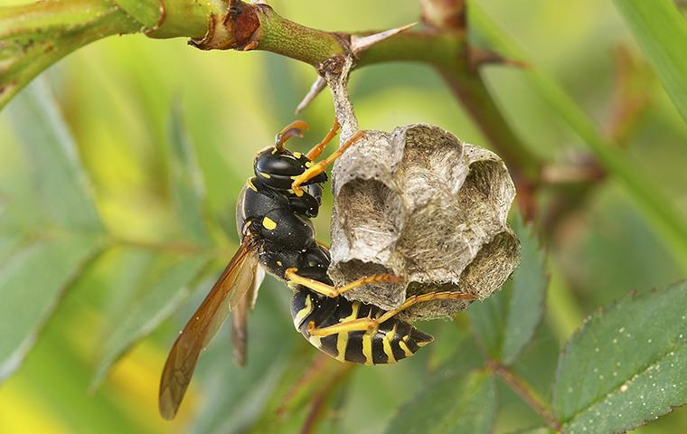 paper wasp on a nest hanging from plant