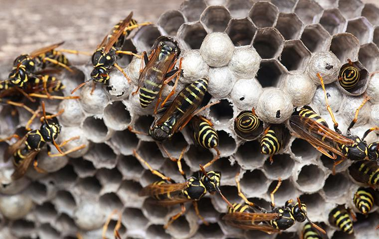 paper wasps crawling on a wasp nest