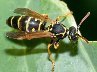 paper wasp on a green leaf