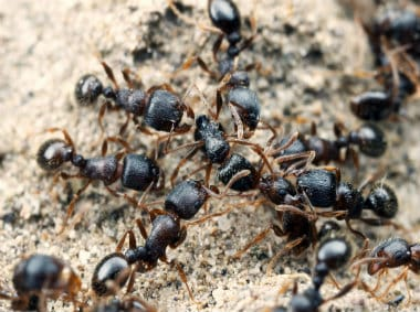 pavement ants climbing up a rock
