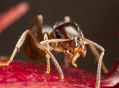 pharoah ant on an apple