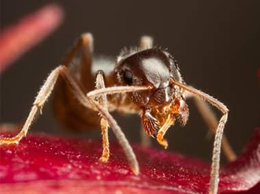 pharoah ant on an apple