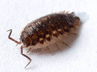 pillbug on a kitchen counter