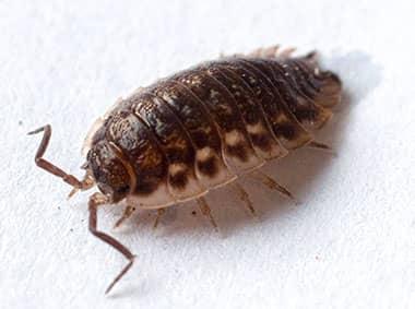pillbug on a kitchen counter