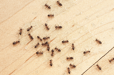 red fire ants on kitchen table
