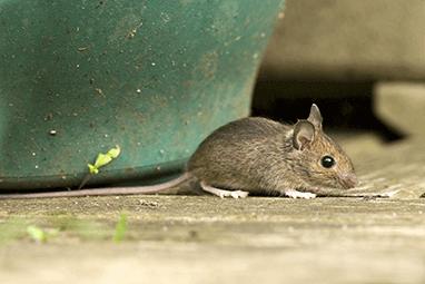 mouse next to plant pot