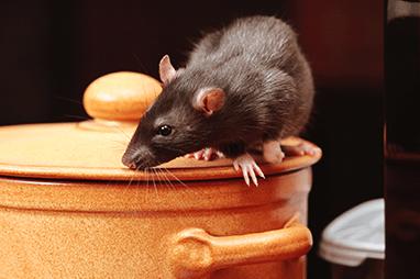 rat climbing on cooking pot