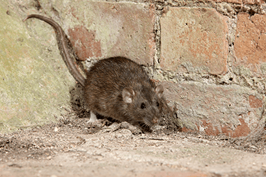 norway rat in the corner of a basement