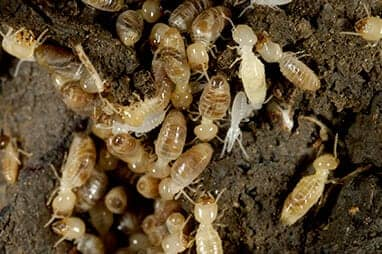 subterranean termites coming out of underground termite colony