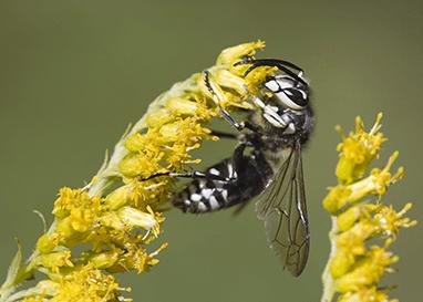 baldfaced hornet on yellow flower