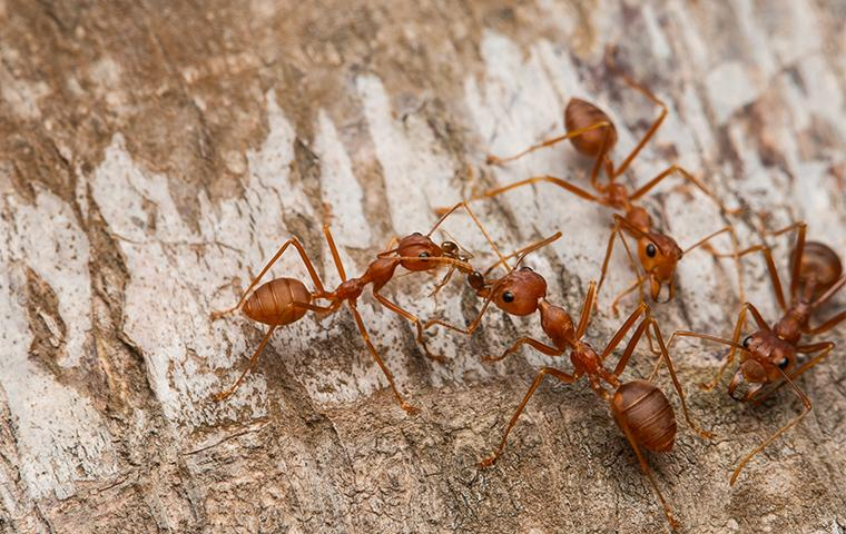 fire ants on tree bark