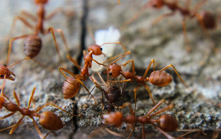 red imported fire ants on rock