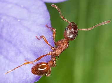 red imported fire ant on purple flower
