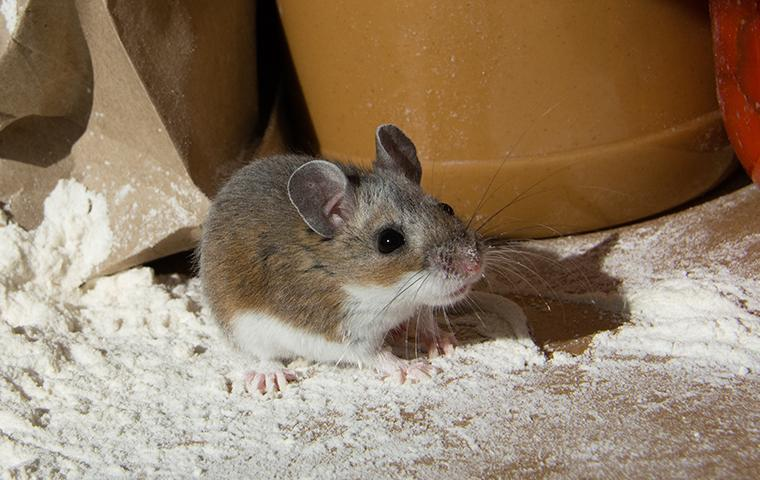 mouse next to ripped flour bag in pantry