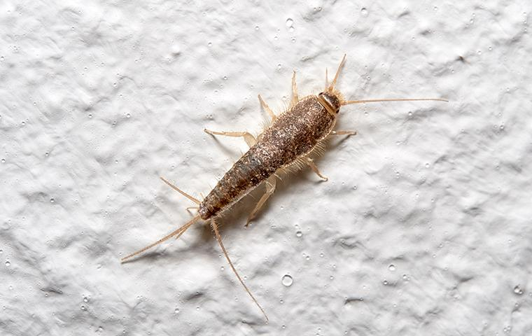 silverfish on white wall