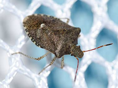 brown marmorated stink bug on net