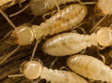 subterranean termites crawling on damaged wood