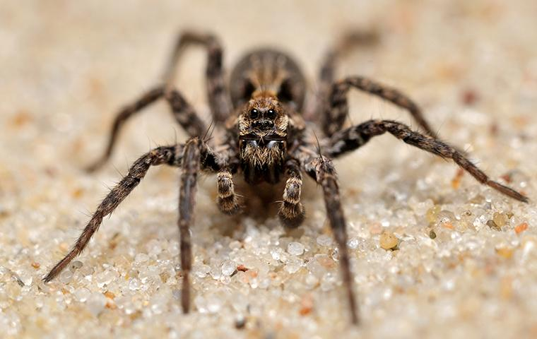 wolf spiders on decorative gravel
