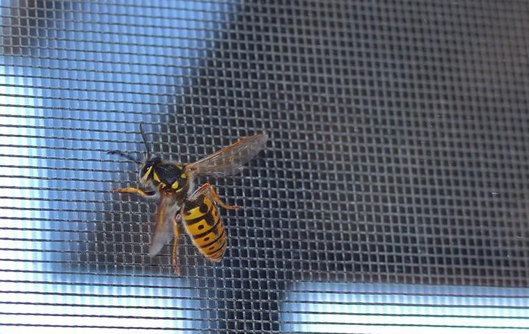 yellow jacket crawling on widow screen