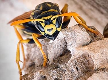 yellow jacket crawling on nest