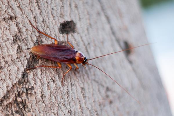 american cockroach resting on the bark of a tree in columbia south carolina