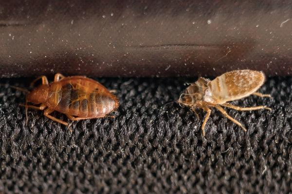 bed bug shedding and crawling on a chair