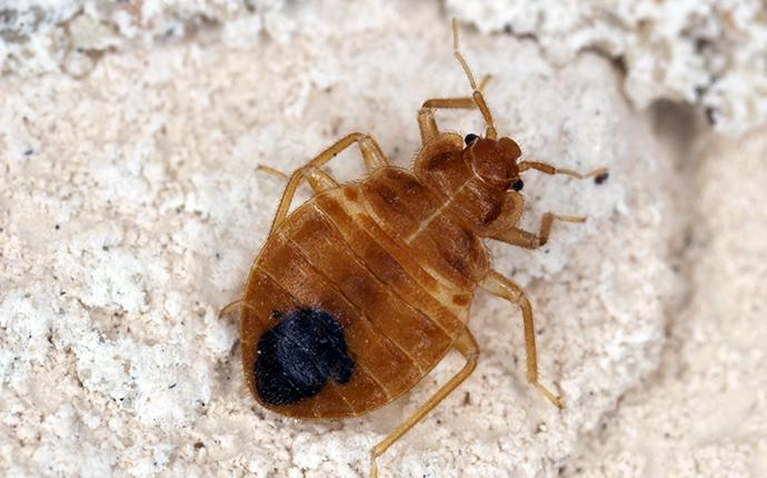 a bed bug on concrete