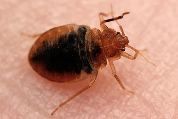 a bedbug resting on the skin of a chapin resident