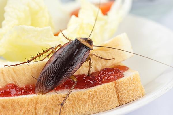 american cockroach crawling on a peanut butter and jelly sandwich