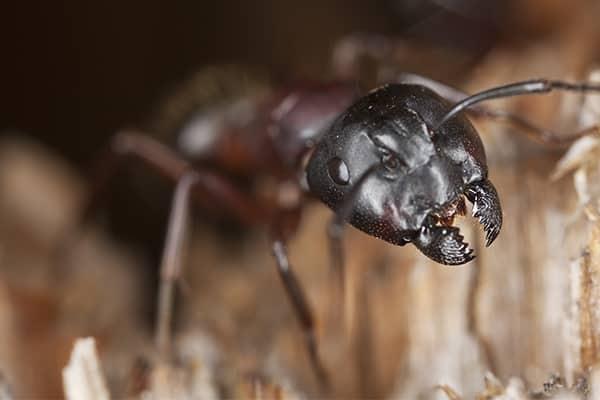 a carpenter ant in a home