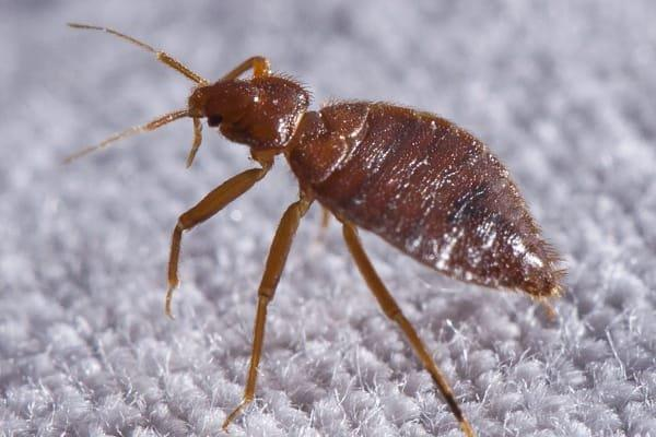 bed bugs on south carolina linens