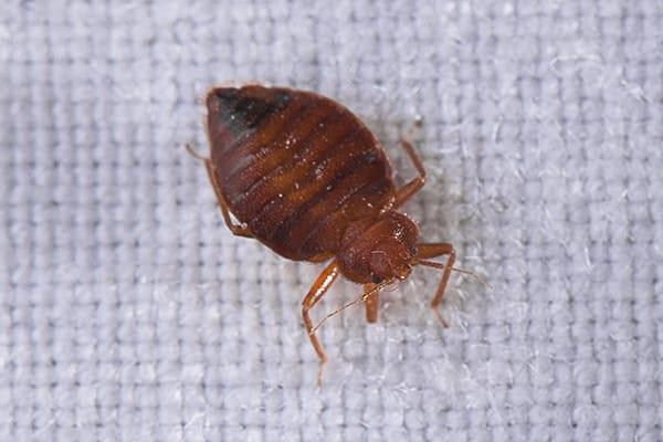 a small but full grown bed bug crawling along the white linen sheets in a south carolina home