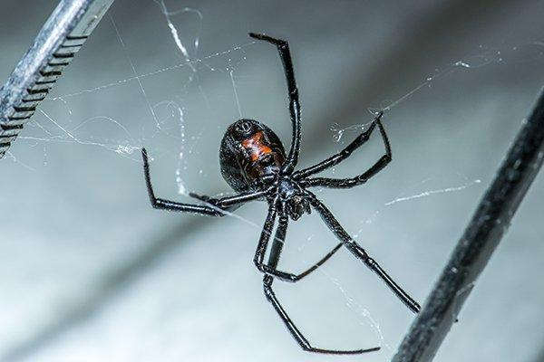 a black widow spider crawling in a basement