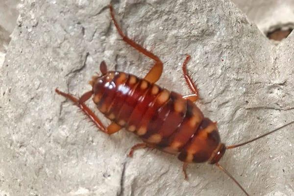 a brown banded cockroach in a lexington south carolina residentialkitchen