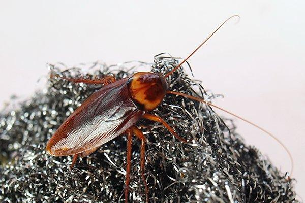 cockroach crawling on steel wool