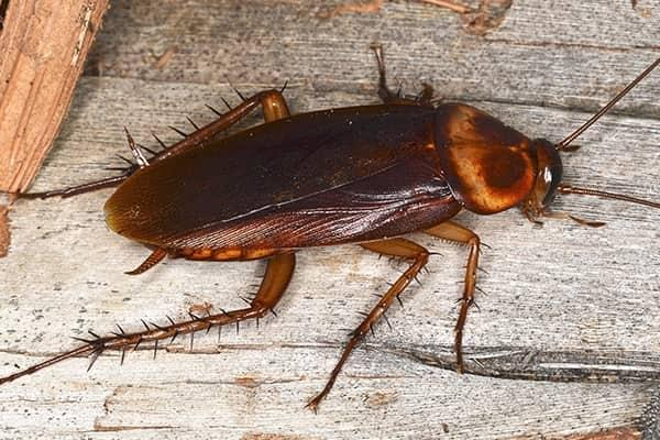 a full grown cockroach crawling along a wooden kitchen table in a south carolina home