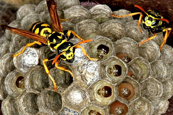 a mud wasp nest with two wasps crawling over the open cells