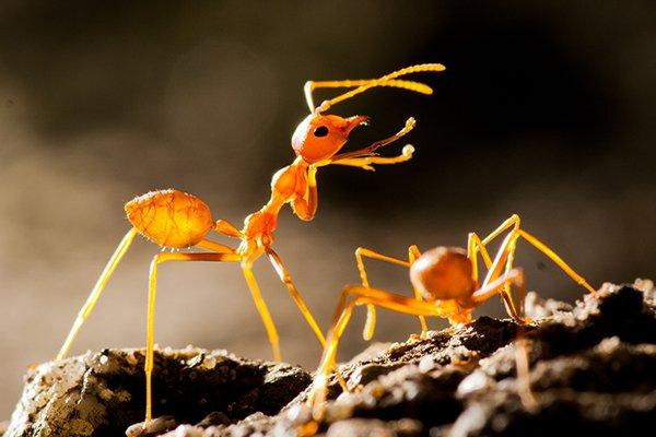 fire ants on an ant hill