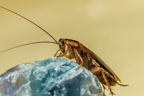 a german cockorach crawling on a rock
