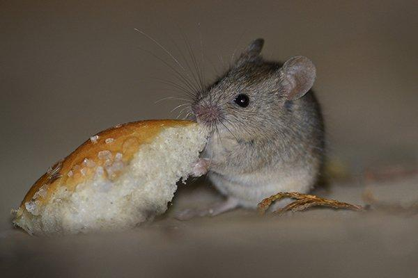 mouse eating a piece of bread