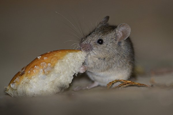 a house mouse eating bread