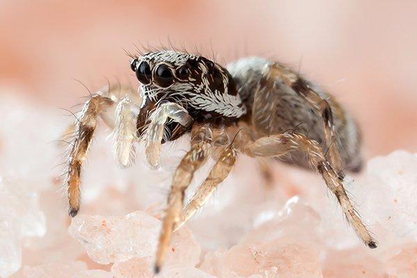 jumping spider on salt crystals