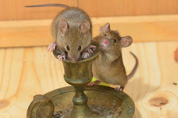 mice crawling on candlestick