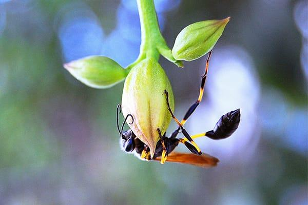 a mud dauber wasp clenched onto a flower bud as it hangs upside down in a south carolina garden