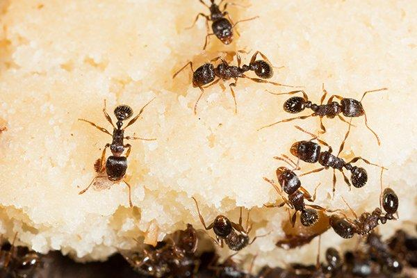 pavement ants crawling on food