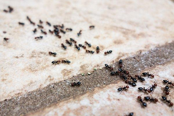 several pavement ants
