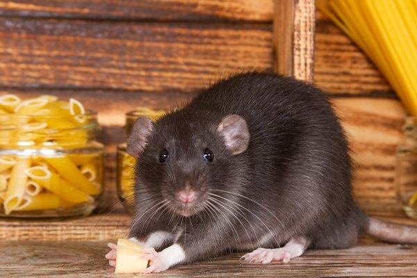 a fat rat in a kitchen pantry