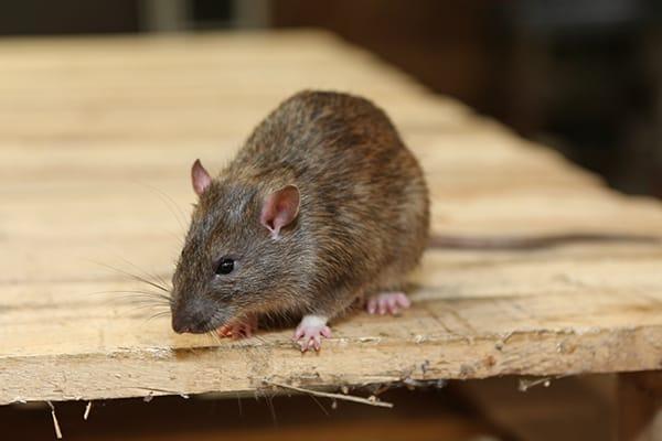 rat on work bench