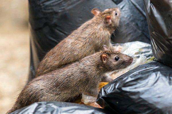 rats crawling on trash